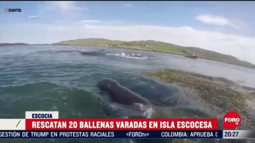 rescatan a ballenas que quedaron varadas en isla escocesa