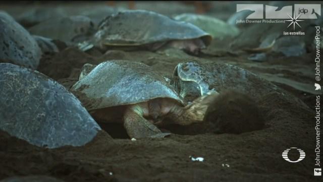 tortugas golfinas anidando en Costa Rica