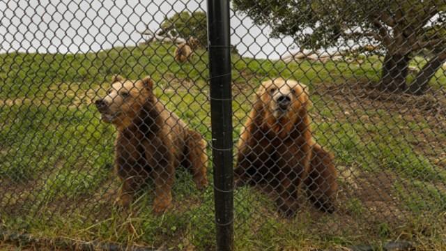 dos-osos-grizzly-en-zoologico-alaska
