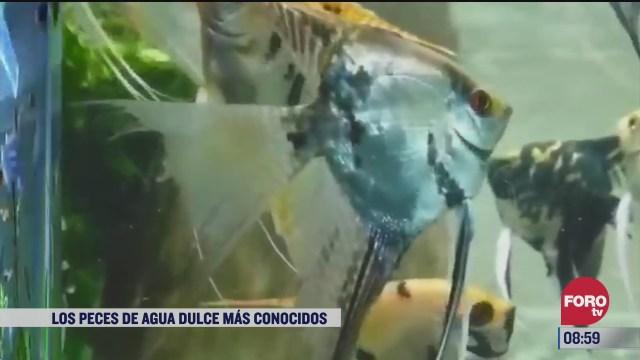 los peces de agua dulce mas conocidos