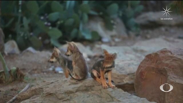 ocho nuevos cachorros de lobo gris mexicano