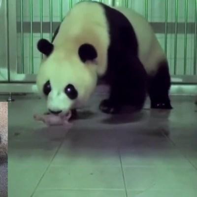 Panda gigante chino da a luz en zoológico de Corea del Sur
