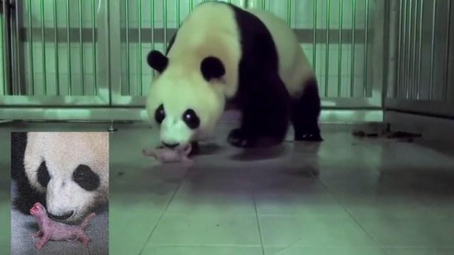Panda gigante chino da a luz en zoológico de Corea del Sur.