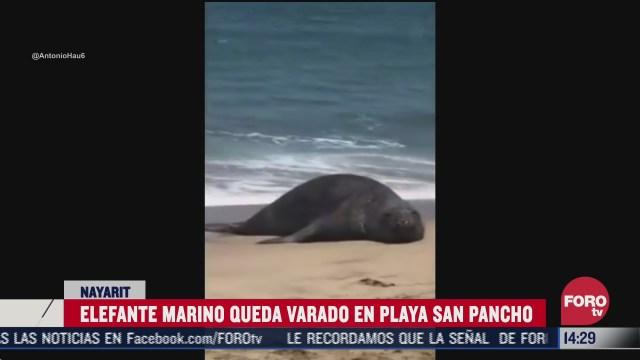 rescatan a elefante marino varado en las playas de nayarit