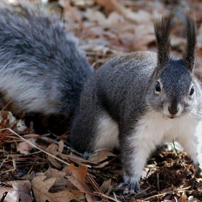 Detectan ardilla con peste bubónica en Colorado