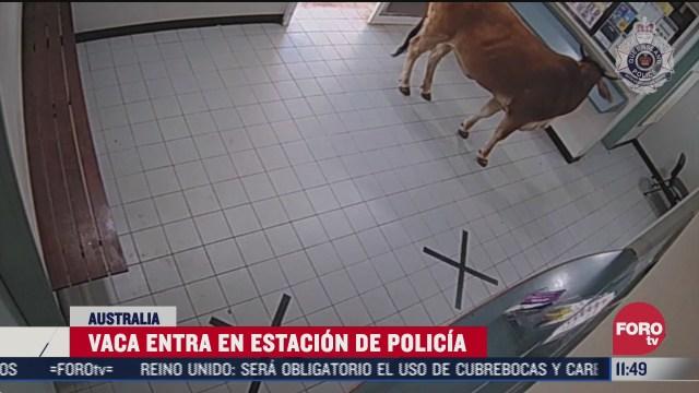 vaca entra en estacion de policia en australia