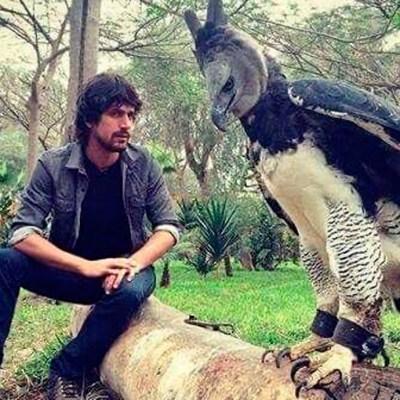 Conoce al águila arpía, la sorprendente ave con tamaño de humano