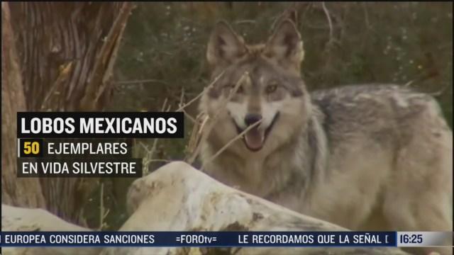 lobo mexicano una especie en peligro de extincion