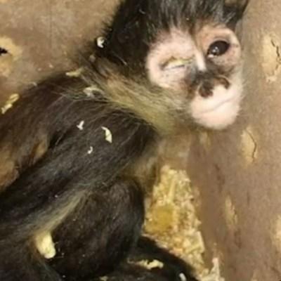 Rescatan en Ciudad Juárez a mono araña enviado por paquetería