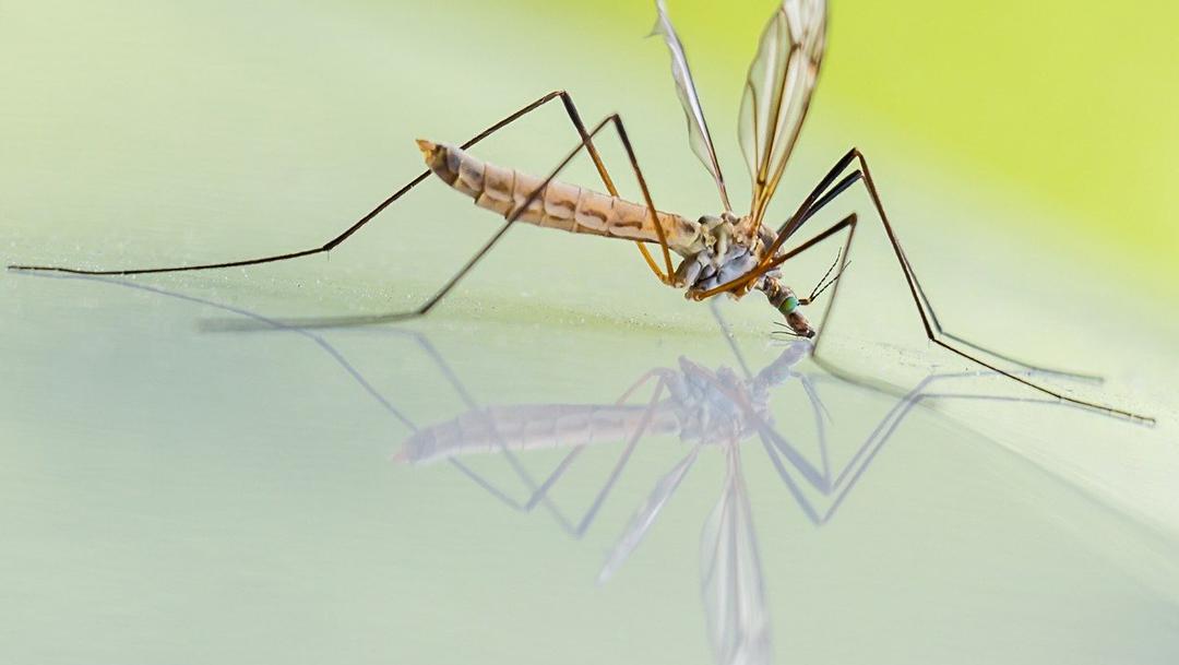 Estos millones de mosquitos genéricamente modificados serán liberados en Florida para combatir enfermedades como el dengue o el zika