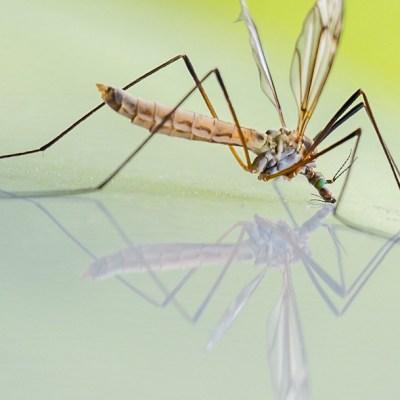 Mosquitos genéticamente modificados serán liberados en Florida