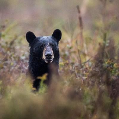 Captan a otros dos osos caminando en calles de Nuevo León