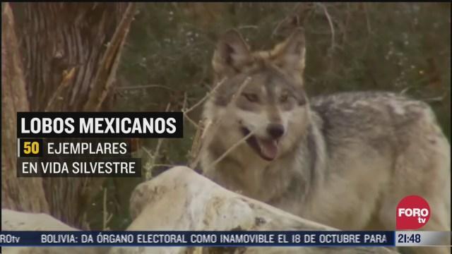 rescatan a lobos mexicanos en la colonia portales