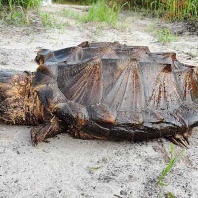 Encuentran un macho y dos hembras de 'rara' especie de tortuga