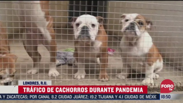 trafico de cachorros durante pandemia en londres