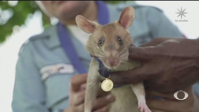 asociacion veterinaria reconoce a rata gigante africana por su valentia