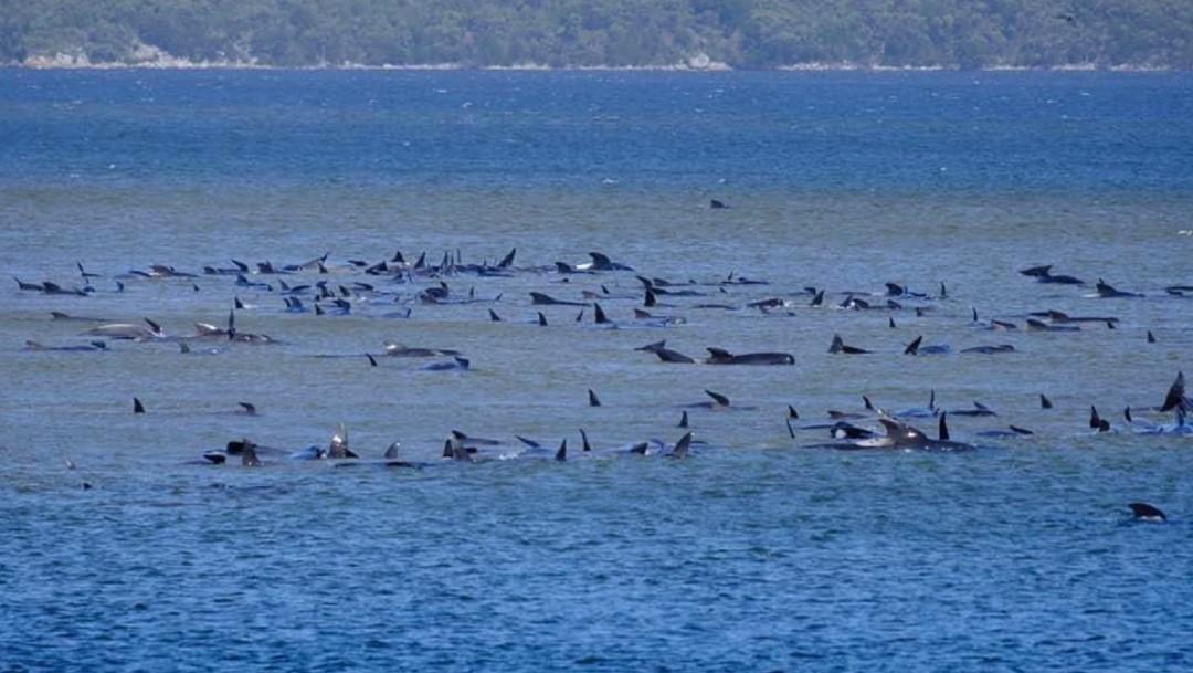 Descubren al menos 70 ballenas varadas en isla de Tasmania, Australia