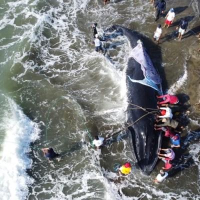 El conmovedor rescate de una ballena jorobada por parte de 37 voluntarios: video