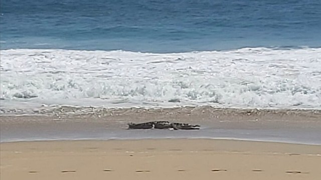 Cocodrilo causa alarma en playa de Pie de la Cuesta, en Acapulco