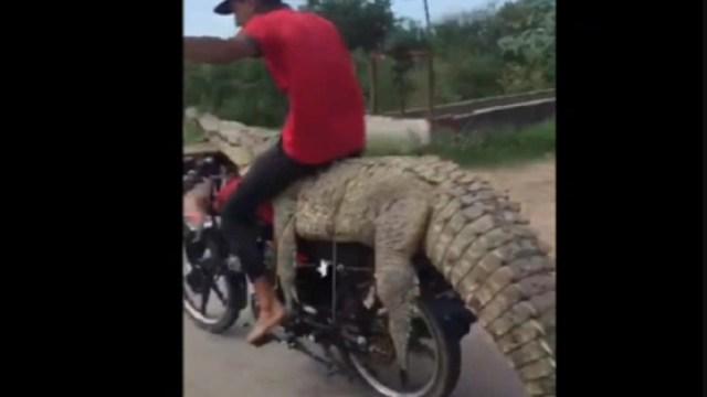 Jóvenes-roban-cocodrilo-y-se-lo-llevan-en-una-moto