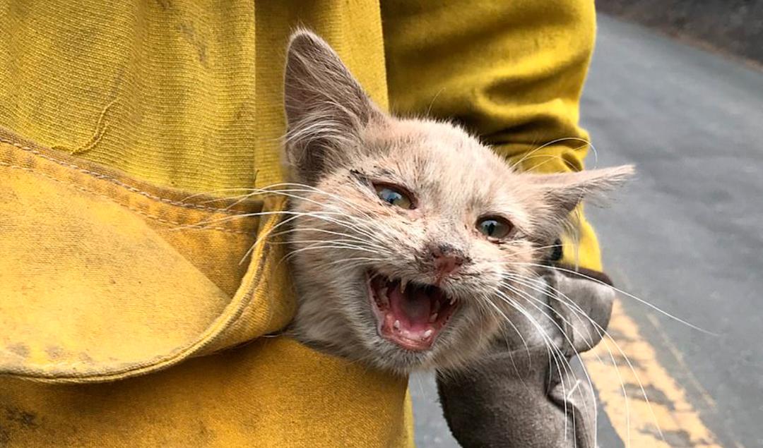Rescate de un gato en los incendios forestales en Estados Unidos