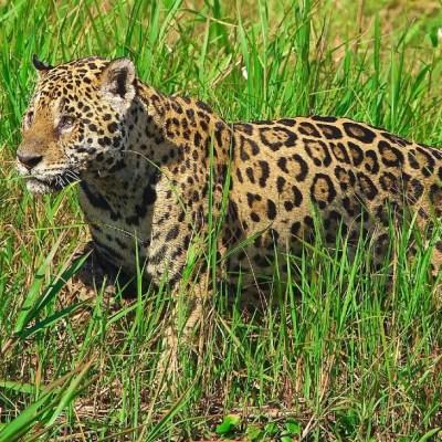 Los incendios en Brasil amenazan al jaguar, el mayor felino de América