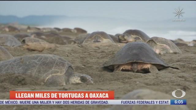 llegan miles de tortugas a oaxaca