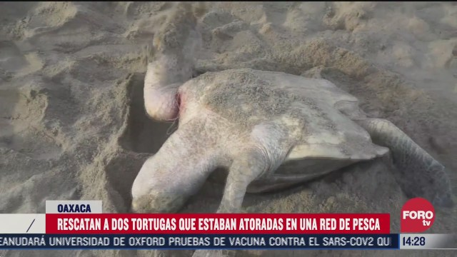 rescatan a dos tortugas golfinas en oaxaca