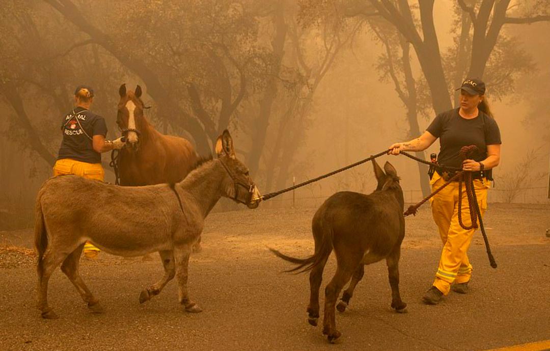 Rescate de animales en Estados Unidos tras incendios forestales