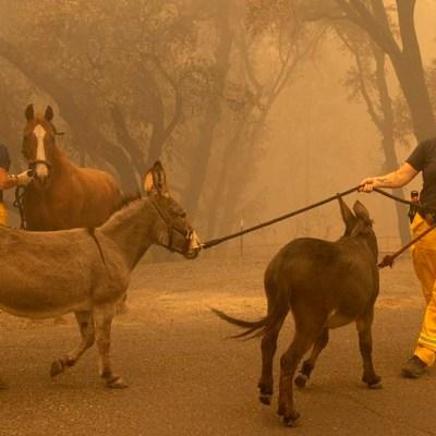 Fotos: Así rescatan animales de incendios forestales en Estados Unidos
