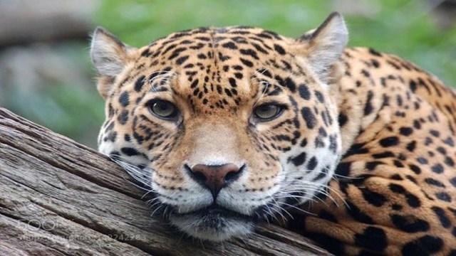 Atropellan a jaguar hembra en Campeche cuando buscaba alimento