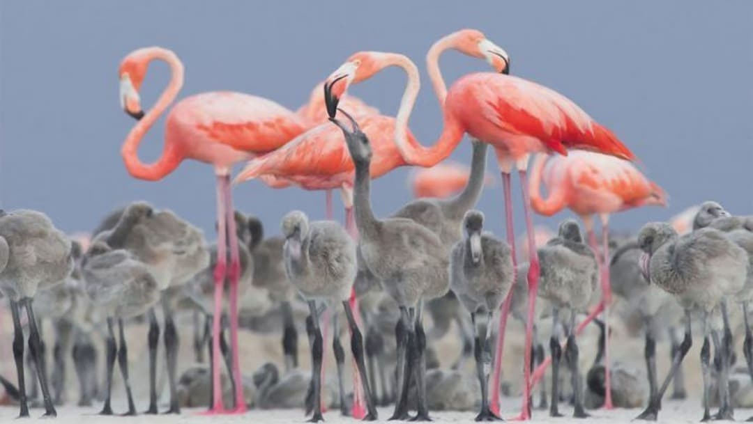 Nacen 8 crías de flamenco rasado en Zoológico de León