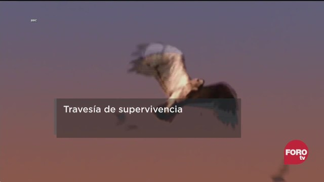 desplazamiento de aves fundamental para su supervivencia