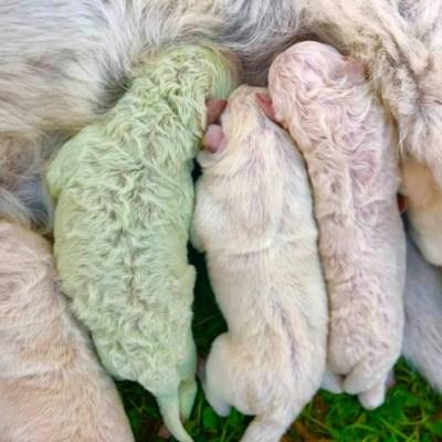 Nace en Italia un perrito de color verde; lo nombraron 'Pistacho'