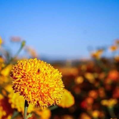 Flor de muerto podría no venderse en Oaxaca