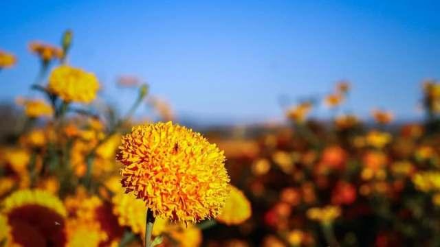 Flor de muerto no podría venderse en Oaxaca