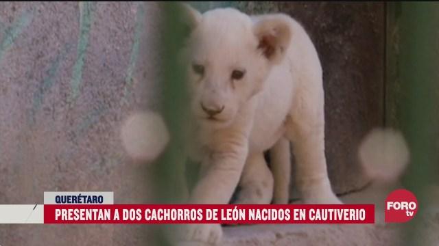 presentan a dos cachorros de leon nacidos en cautiverio en queretaro