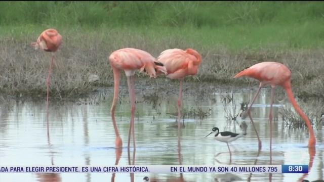 rescatan a flamencos tras paso de gamma y delta en yucatan