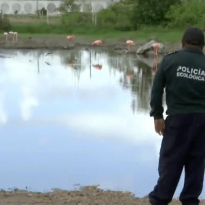 Rescatan especies desorientadas en Yucatán tras inundaciones, flamingos caminan en carreteras