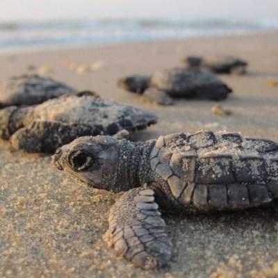 Nacen miles de tortugas en playas de Sonora tras ausencia de turistas y pandemia