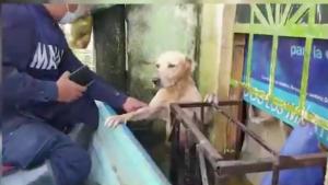 Marina rescata a perrito labrador de las inundaciones en Tabasco y lo adopta a sus filas