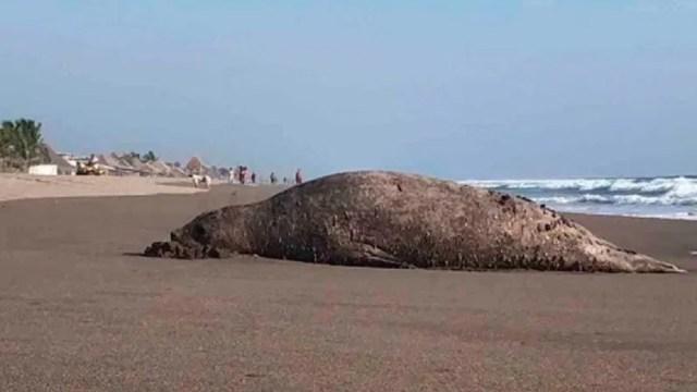 Resguardan-en-Chiapas-a-elefante-marino-la-Patagonia