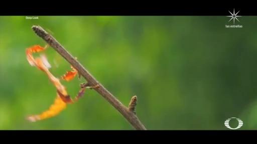 nuevos descubrimientos acerca del insecto hoja