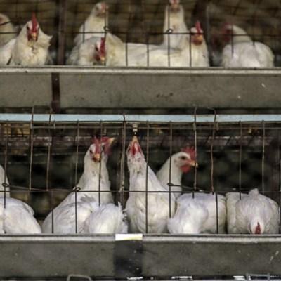 Pollos en granja avícola