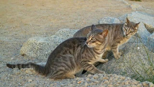 Los gatos salvajes representan una amenaza a otras especies endémicas del país y tras un estudio, ordenó el exterminio de millones de gatos