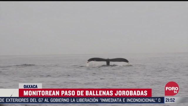 monitorean paso de ballenas jorobadas en oaxaca