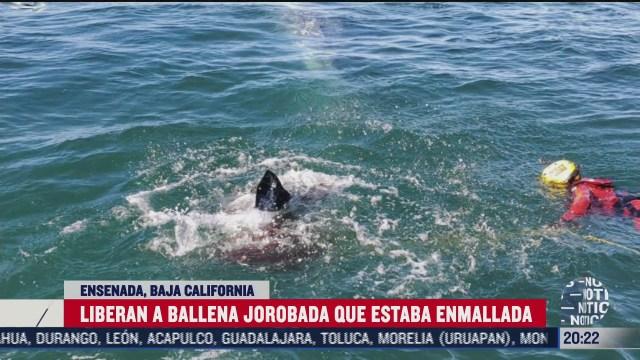 secretaria de marina libera ballena atrapada en ensenada