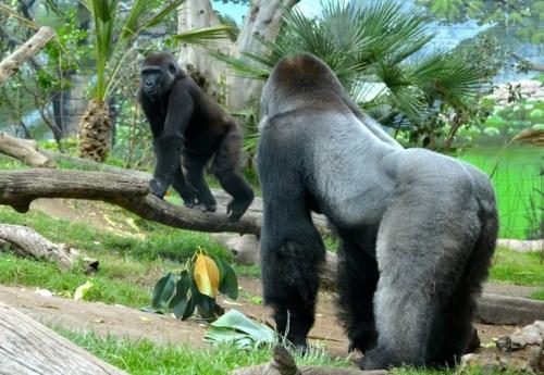 Gorilas contagiados con COVID-19 se recuperan en San Diego