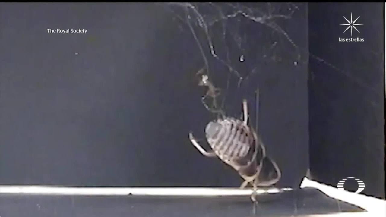 aranas comunes son capaces de atrapar insectos de hasta 50 veces su peso