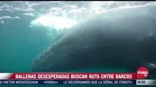 ballenas desesperadas buscan rutas entre barcos